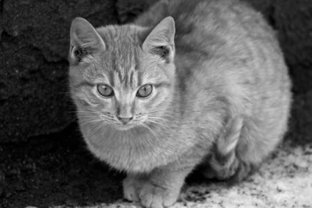 sidewalk talk: Black and white image of a large fluffy kitten closeup.