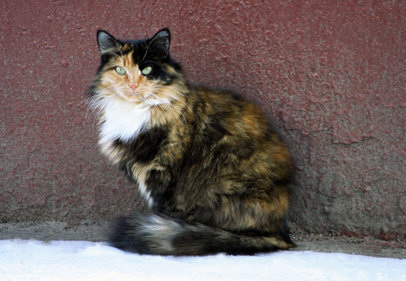 sidewalk talk: Big cat close up. Fluffy cat with colored wool sitting next to the old walls of the house.