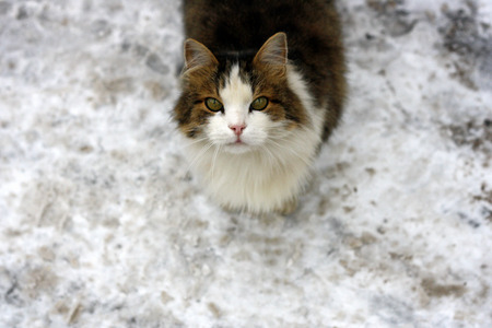 Big fluffy cat standing on a snowy road. The cat raised his muzzle and looks up. Stock Photo
