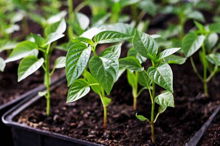 Spring seedlings. Low sprouts of peppers grown at home in boxes. The sprouts of pepper grown from seed. Stock Photo