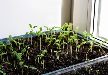 germinación: En las plantas de semillero de primavera. Bajo las coles de pimientos cultivados en casa en cajas. Los brotes de berenjenas cultivadas a partir de semillas.