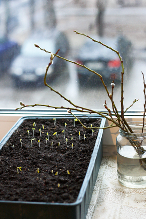 The first shoots of the seeds planted in the box on the windowsill.Next to the sprouts is a glass jar with branches of pussy willow.