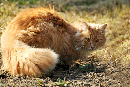 Cats in nature.Big fluffy ginger cat lying on the dry grass.