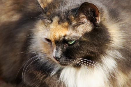 Portrait of a cat. The face of a cat with original two-tone color closeup. Stock Photo