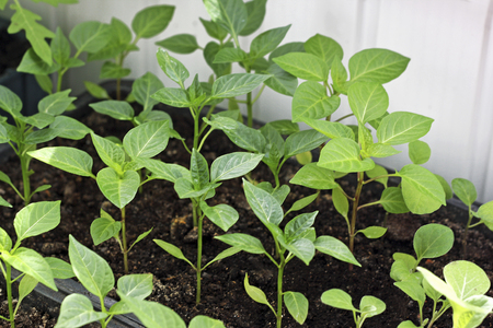 germinación: The spring planting. Early seedling peppers, grown from seeds in boxes at home on the windowsill.