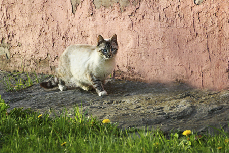 sidewalk talk: Homeless cats in nature. Beautiful fluffy cat walks along the walls of the old house.