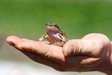 Frog sitting on a human hand. Little brown frog was caught by a man and sits calmly on his arm. Stock Photo