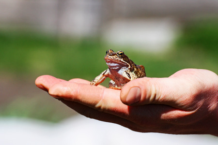 A little frog. Brown frog sitting in the palm of the person.