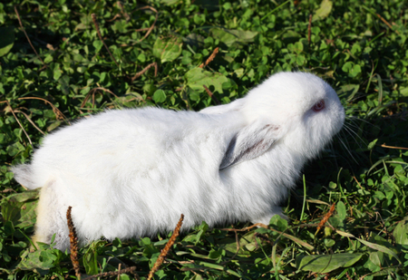 White rabbits with black ears and a black nose. Purebred rabbits grown on the farm. Little rabbit sitting among the low green grass.