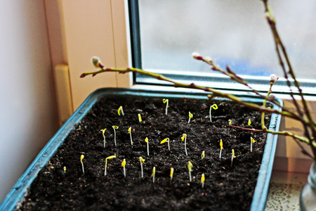 The first shoots of seeds are planted in a box on the windowsill.Next to the sprouts is a glass jar with willow branches.