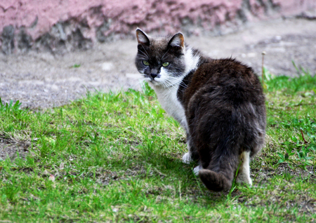 Cat on the walk. Big black-and-white a walking on green the grass. Animals in the natural environment.
