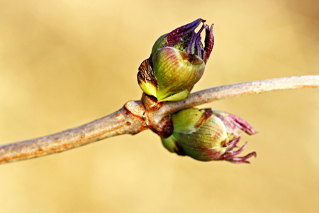 The awakening of spring. The buds on the tree closeup. Bud blooming.