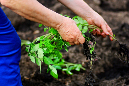 Planting tomatoes in the spring. Hands of an elderly woman closeup. In the hands of seedlings of tomatoes. Stock Photo