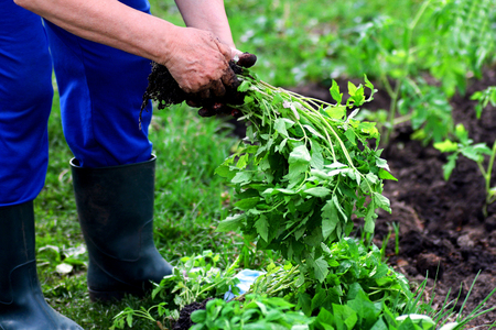Planting vegetables in the spring. Hands of an elderly woman closeup. A woman holding a tomato seedlings.