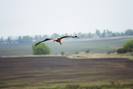 Stork. A large stork spreads its wings and flies over the countryside.