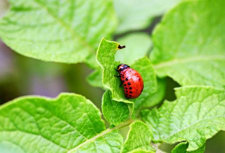 The larva of the Colorado potato beetle. The red large larva of the Colorado potato beetle sits on the potato leaf.