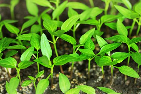 Pepper sprouts. Green shoots of pepper grown from seeds at home.