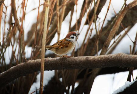 Sparrow on a branch. A small bird sits on a tree branch in winter. Stock Photo