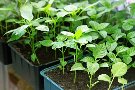 Young green sprouts of peppers. Seedlings of peppers grown in boxes at home.