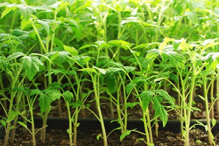 Tomato seedlings. Green sprouts grown at home.