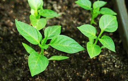 Giovane primo piano del pepe dei germogli verdi. Piantine di peperoni coltivate in scatole a casa.