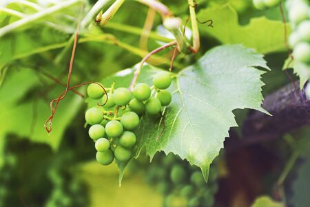 Grape. Branch with green unripe grapes close-up. Stock Photo