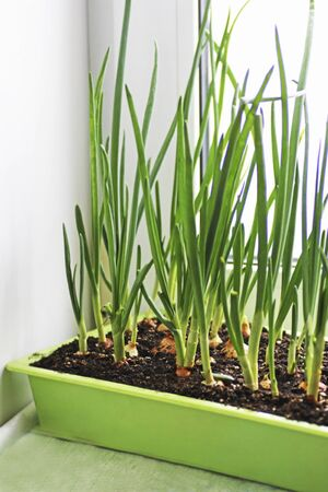 Green onion. Green onions grown in the spring on the windowsill in the house.