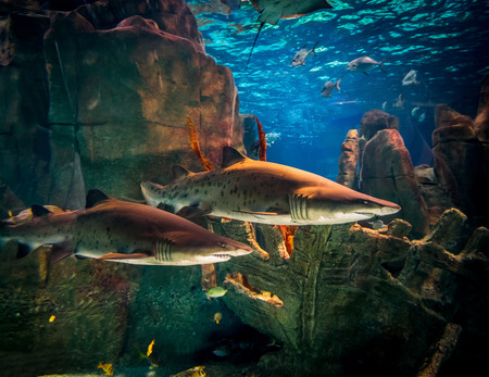 bull shark: Two white sharks in Istanbul aquarium.