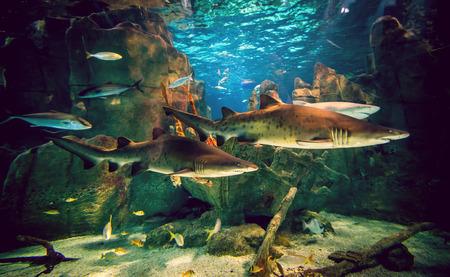 Two white sharks in Istanbul aquarium. photo