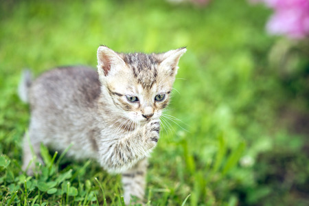 Adorable baby kitten playing in grass of backyard garden. Toned image.