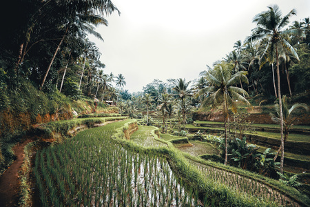 Tegallalang Rice Terrace. Ubud, Bali, Indonesia. Artistic filter applied.
