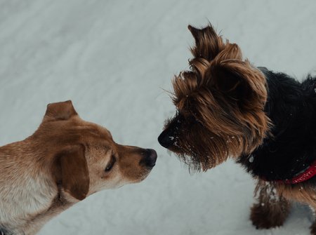 two dogs kissing at snow in the mountains