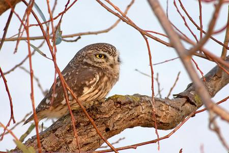 Wild owl Zdjęcie Seryjne
