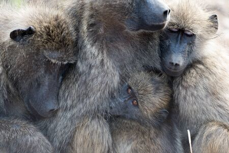 Baboon family in the wilderness of Africa Stock Photo
