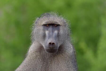 Male baboon close up portrait