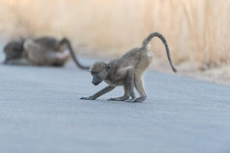Baby baboon in the wilderness of Africa Stockfoto