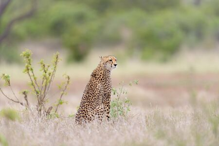 Cheetah portrait in the wilderness of Africa