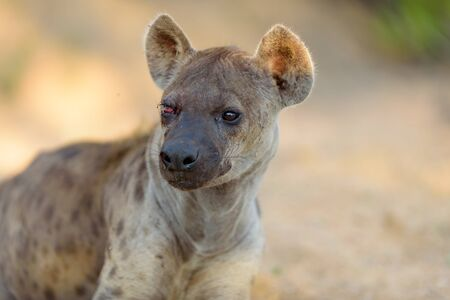Hyena in the wilderness of Africa Stock Photo - 143313200