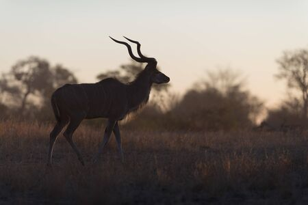 Kudu Antelope Portrait in the wilderness of Africa Banque d'images