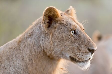 Young lion in the wilderness of Africa