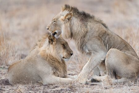 Male lion coalition in the wilderness of Africa Stock Photo