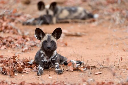 African wild dog in the wilderness of Africa, painted wolf