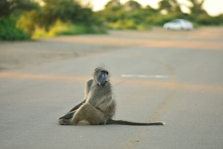 Male baboon in the wilderness of Africa
