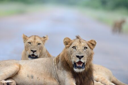 Lion family in the wilderness of Africa Foto de archivo