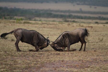 Wildebeest in the wilderness of Africa