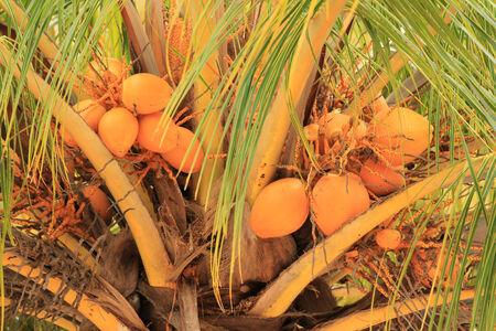 nucifera: Cocos nucifera