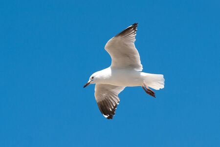 A clean white seagull in flight against a beautiful blue clear sky photo