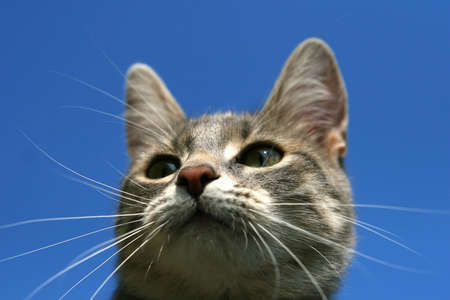 cat on blue background Stock Photo - 2888749