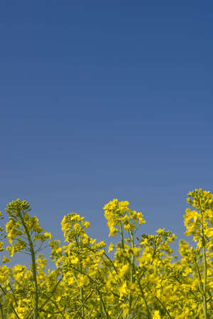 oilseed: oilseed rape field during spring with blue sky