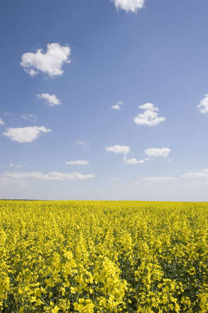 oilseed rape field during spring with blue sky photo
